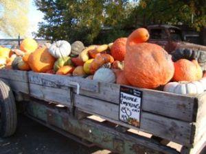 Heritage pumpkins at Bacchus Marsh