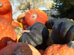 Heritage pumpkins at Bacchus Marsh