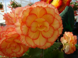 The 2016 Begonia of the Year