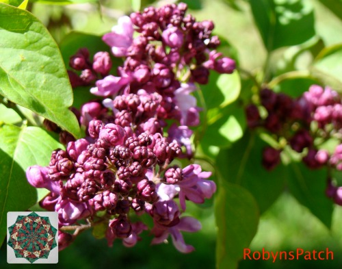 Purple lilac about to burst into bloom